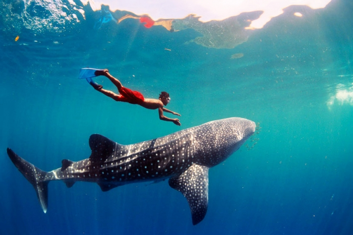 Whale sharks are friendly with humans.